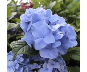 Hortensia Hydrangea macrophylla Nikko Blue