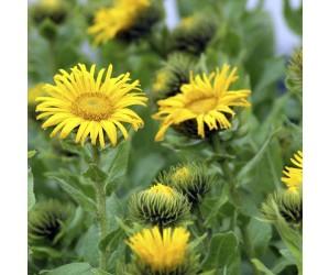 Alant gul blomst