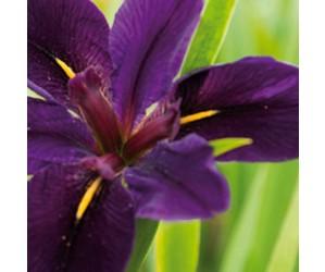 Iris louisiana Black Gamecock