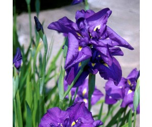 Iris ensata variegata kaempferi