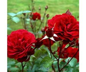 isabel rose blomst