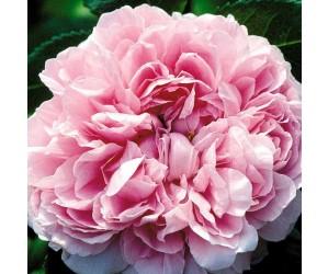 Jacques Cartier-Portland rose