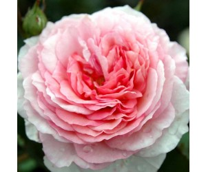 James Galway rose blomst