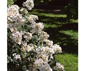 Japansk Klatrerose blomster