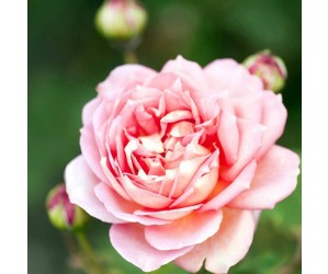 Opstammet engelsk rose Jubilee Celebration