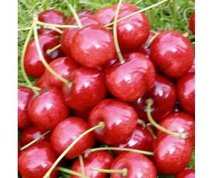 Dværgtræ Kirsebær regina