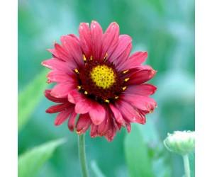 Kokardeblomst GAILLARDIA BURGUNDER blomst