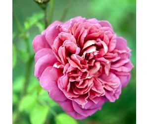 Lady of Megginch rose