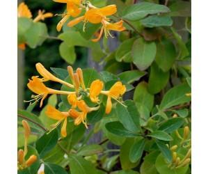 Guldkaprifolie klatreplante