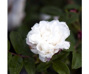 Buskrose Louis Bugnet-rosa rugosa opstammet