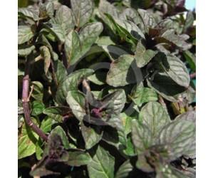 Chokolademynte (Mentha ´Chocolate´)