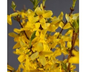 Forsythia Mini Gold