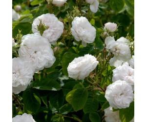 Mme hardy rosenbusk