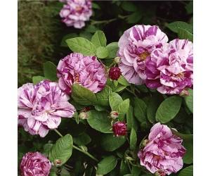 Mundi rose