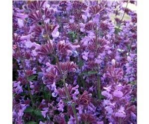 Blåkant Nepeta faassenii lilla bloms