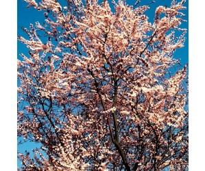 Blodblomme nigra træ