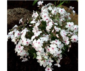 Lyngfolks Phlox subulata Amazing Grace
