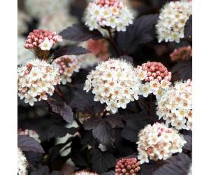 Blærespiræa blomster hæk