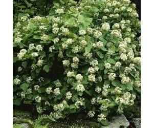 Physocarpus opulifolius hæk