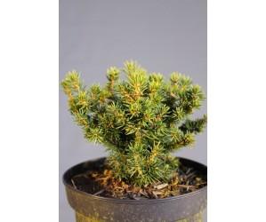 Picea glauca Cy`s Wonder