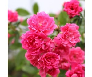 Opstammet rose Pink Fairy