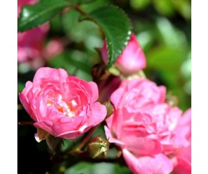 Pink fairy rose blomst