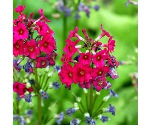 Primula jap Millers Crimson blomst
