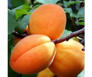 Abrikos Prunus armeniaca Harcot