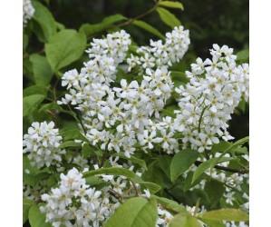 Prunus padus blomst