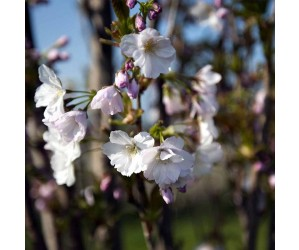 Japansk Søjlekirsebær Amanogawa