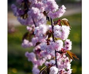 Prunus ser. Kiku-Shidare
