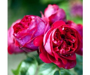 Red willestrup rose