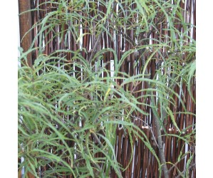 Rhamnus frangula Aspleniifolia