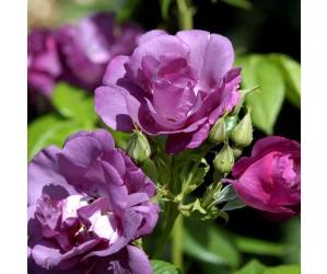 Rhapsody in Blue rose opstammet