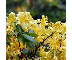 Rhododendron anneke