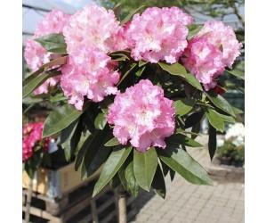 Rhododendron arabella opstammet
