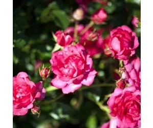 Bunddækkende rose Viking