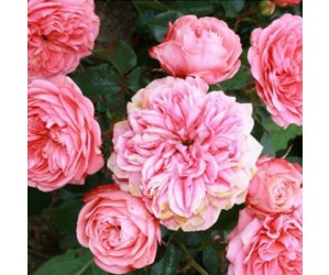 Blarney rose