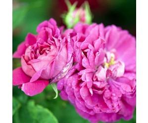 Rose de Rescht-damascener blomst