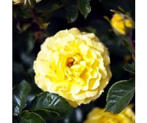 Poulsen rose