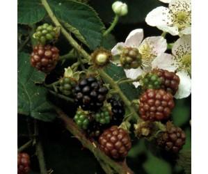 Rubus fruticosus Black Satin