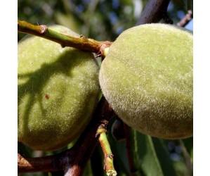 Prunus dulcis Sødmandel