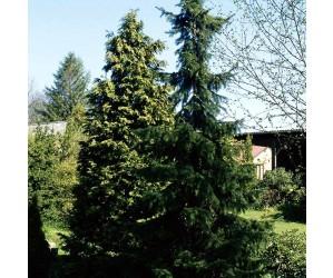 Picea omorika læplante