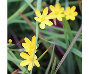 gulblomstret græs (Sisyrinchium californicum)