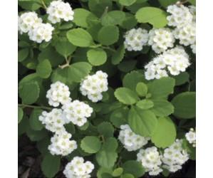Spiraea betulifolia Tor blomst
