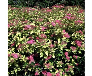 Spiraea japonica Golden Princess busk