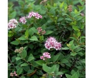 Spiraea japonica Nana