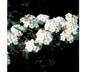 Spiraea vanhouttei blomst