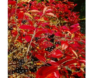 Omplantet surbær hæk