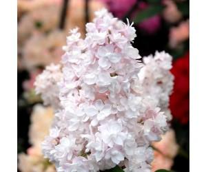 Syringa vulgaris Beauty of Moscow blomst